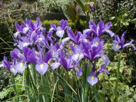 Irises at the Getty Garden by Fritters