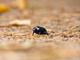 Forest dung beetle by Musterkatze