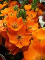 Orange Flower by theNanna