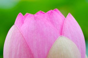 Sacred Lotus by roarbinson