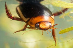 Predaceous Water Beetle by ribbonworm