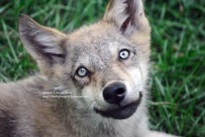Wolf Pup Smile by 8TwilightAngel8