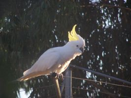 Sulpher Crested Cockatoo 4 by DreamsDeleted