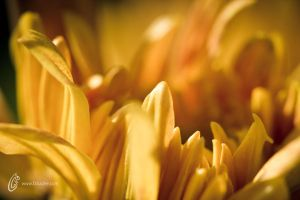 Yellow Petals by fahadee