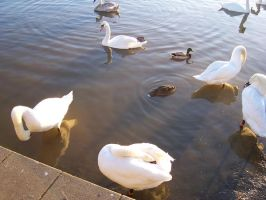CC Swans by wilterdrose-stock