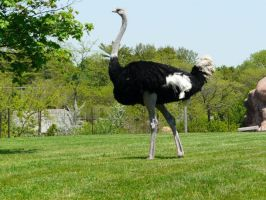Ostrich 03 by Unseelie-Stock