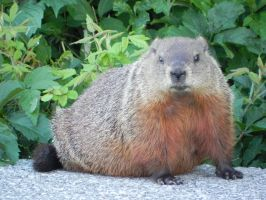 Groundhog 007 by presterjohn1