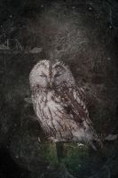 tawny owl by greenfeed