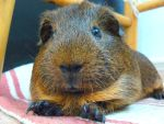 My Guinea Pig by 3DSud