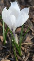 crocus by sunfoot