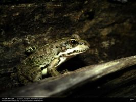 Alone Frog by behzadblack