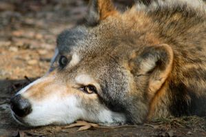 Lazy wolf by Fohat