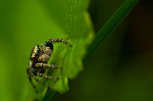 Jumping spider by mprox