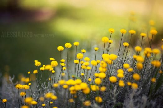 Yellow field by Alessia-Izzo