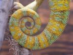 Veiled Chameleon Tail Stock by TalkStock