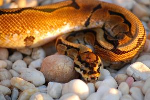 Spider Ball Python - 5 by JAMills