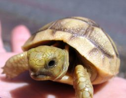 Baby tortoise by Breedthecancer