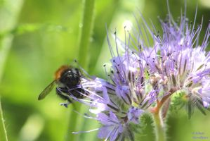 Bee on purple by jochniew