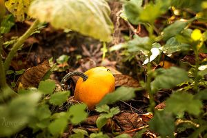 Little pumpkin by Arvensias
