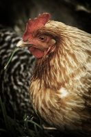 Country Chicken 6 by S-H-Photography