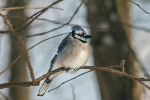 Winter Blue Jay by ViridianRoses