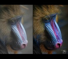 Female Mandrill Portrait: Before/After by braxtonds