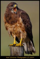 Hawk by KSPhotographic