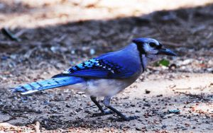 Bluejay 5-25-11 by Tailgun2009