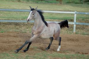JA Arab yearling canter eyes closed by Chunga-Stock