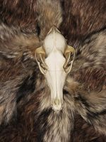 Coyote Skull on yote tails by lamelobo