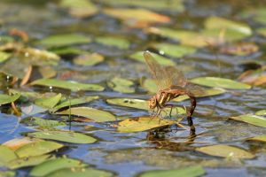 Brown Hawker Dragonfly - Aeshna grandis by paulblythe