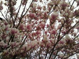 Magnolias, Full Bloom by Ax-lyions
