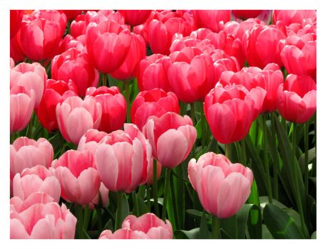Tulips 2 by SurfGuy3