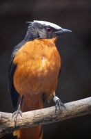 Western White Crowned Robin by AnxietyPatient