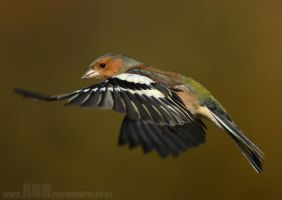Chaffinch by Albi748