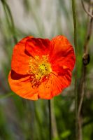Mohnblume by MarcZingg