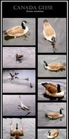 Canada Geese by Forbidding