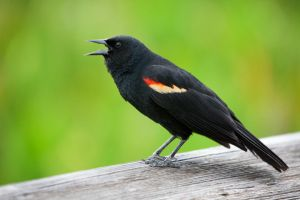 Red-Winged Blackbird by secondclaw