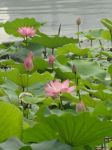 Chinese Paddy Lilies by Stormbreaker0100