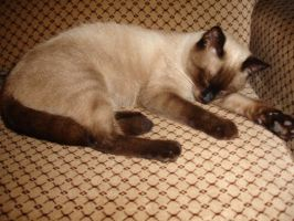 Siamese cat 4 by deep-blue010