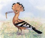 African Hoopoe by WillemSvdMerwe