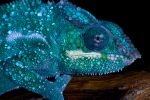 Nosy be chameleon close up by AngiWallace