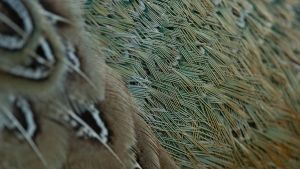 Pheasant Feathers 03 by 88-Lawstock