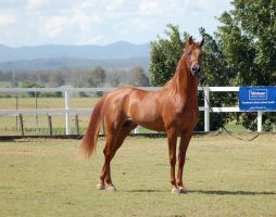 GE Arab chestnut side looking at camera by Chunga-Stock