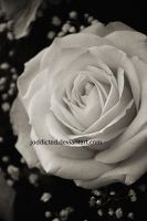 White Rose by joddicted