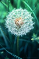 dandelion by bluesoft82