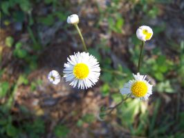 White-Flower-1 by stock-it