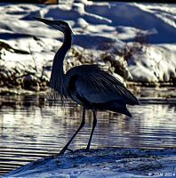Great Blue Heron by JDM4CHRIST