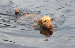 My Dog Swimming 2 by Danimatie
