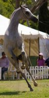 STOCK - TotR Arabians 2013-597 by fillyrox